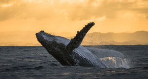 Humpback whale jumps out of the water. Beautiful jump. A rare photograph. Madagascar. St. Mary`s Island. stock photos
