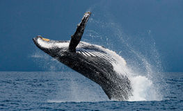 Humpback whale jumps out of the water. Madagascar. St. Mary`s Island. royalty free stock photo