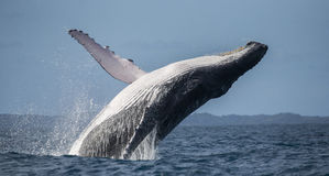 Humpback whale jumps out of the water. Madagascar. St. Mary`s Island. royalty free stock images