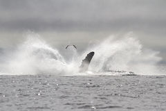 Humpback whale leaped into the sea in fountain spray Stock Photo