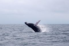 Humpback whale leaping Stock Image
