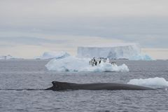 Humpback Whale logging Stock Photos