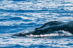 Humpback whale head coming up Royalty Free Stock Photos