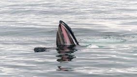Adult Humpback Whale surface lunge feeding, Antarctic Peninsula royalty free stock image
