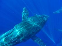Humpback Whale Maui Hawaii 7 of 7. Humpback whale approaches camera. These incredible animals can be seen each winter off the coast of Maui, Hawaii. 7 of 7 stock image