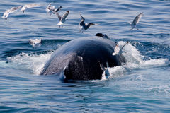 Humpback whale/Megaptera novae. Whale feeding near the eastern cost of the USA Stock Image