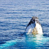 Humpback Whale (Megaptera novaeangliae). Is a species of baleen whale royalty free stock images