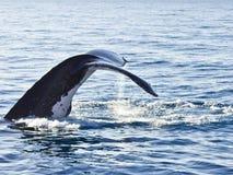 Humpback Whale Megaptera novaeangliae Stock Image