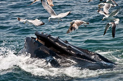 Humpback Whale (Megaptera novaeangliae) Royalty Free Stock Photos
