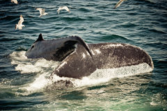 Humpback Whale (Megaptera novaeangliae) Stock Photography