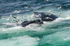 Humpback Whale Megaptera novaeangliae. A close up of a Humpback Whale feeding in Cape Cod Massachusetts Stock Images