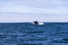 Humpback whale (Megaptera novaeangliae) jumping out of water in Monterey bay, California Stock Photo