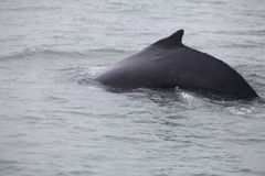 Humpback whale (Megaptera novaeangliae) seen from the boat near Royalty Free Stock Photo