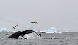 A humpback whale Megaptera novaeangliae shows its tail as it dives during feeding, with kelp gulls Larus dominicanus stealing stock photo