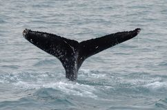 Husavik - the humpback whale Iceland, August 2018. The humpback whale Megaptera novaeangliae is a species of baleen whale stock photo