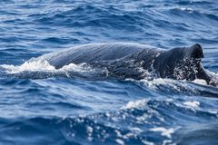 Humpback Whale Swims at the Surface. A Humpback whale, Megaptera novaeangliae, swims in the Atlantic Ocean. Each year the North Atlantic Humpback population Royalty Free Stock Photography