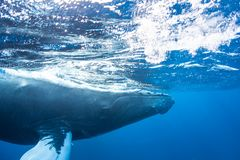 Humpback Whale Swims in Caribbean Sea. A Humpback whale, Megaptera novaeangliae, swims at the surface of the clear, blue waters of the Caribbean Sea. Atlantic Stock Photo