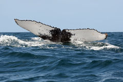 Humpback whale. The humpback whale Megaptera novaeangliae , Humpback whale tail in the ocean royalty free stock image