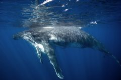 Humpback whale, megaptera novaeangliae, Tonga, Vava`u island. Calf,whale,ocean,dive,swim Royalty Free Stock Photo