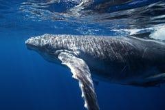 Humpback whale, megaptera novaeangliae, Tonga, Vava`u island. Swim, baby,calf stock images