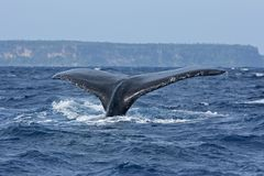 Humpback whale, megaptera novaeangliae, Tonga, Vava`u island. Wildlife photography. Day light. Swim with whale. Whale watching. Tail of whale on surface. Ocean royalty free stock photos