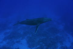 A humpback whale Megaptera novaeangliae underwater Stock Photos