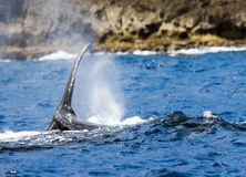 Humpback Whale Migrating Royalty Free Stock Photography