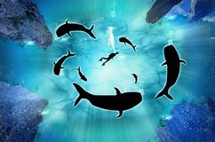 Humpback Whale Migration, A diver with a pod of humpback whales. Illustration. Silhouette of big whales and reef on a blue sea background. Underwater vector Royalty Free Stock Photo