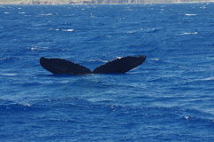 Humpback whale near Maui Royalty Free Stock Image