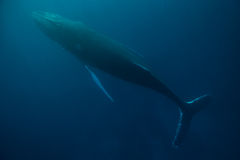 Humpback Whale in Ocean Stock Image