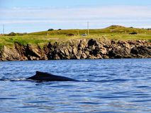 Humpback whale off the coast of Bonavista, Newfoundland and Labr stock photography