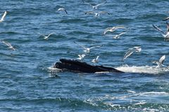 Humpback whale open mouth feeding with gulls royalty free stock images