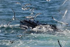 Humpback whale open mouth feeding with gulls royalty free stock image
