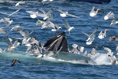 Humpback whale open mouth  feeding with sea gulls Stock Photos