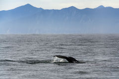 Humpback whale in the Pacific Ocean. Royalty Free Stock Photography