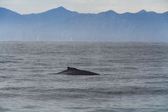 Humpback whale in the Pacific Ocean. Stock Image