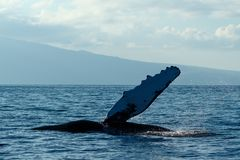 Humpback whale pectoral fin. Humpback whale pectoral fin in Hawaii, Maui, Lahaina, Winter Royalty Free Stock Photo