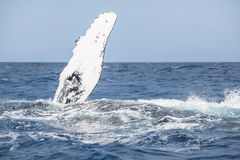 Humpback Whale Pectoral Fin Royalty Free Stock Image