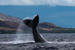 Humpback whale peduncle throw. Hawaii, Maui, Lahaina, Winter royalty free stock image