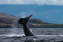 Humpback whale peduncle throw. Hawaii, Maui, Lahaina, Winter stock photography