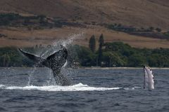 Humpback whale peduncle throw near Lahaina in Hawaii. Hawaii, Maui, Lahaina, Winter royalty free stock photography