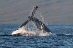 Humpback whale peduncle throw near Lahaina in Hawaii. Hawaii, Maui, Lahaina, Winter royalty free stock photos