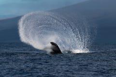 Humpback whale peduncle throw near Lahaina in Hawaii. Hawaii, Maui, Lahaina, Winter royalty free stock image