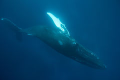 Humpback Whale Rolling On Its Side Stock Photos