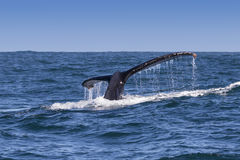 Humpback whale's fluke Royalty Free Stock Images