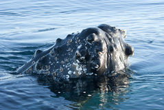 Humpback whale's head-2. Humpback whale's head peering out of the waters of the Southern Ocean- 2 Stock Photography