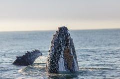Humpback whale's nose surfacing Royalty Free Stock Photos