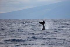 Humpback whale`s tail fin Megaptera novaeangliae off the coast of Maui, Hawaii. A humpback whale`s tail fin Megaptera novaeangliae breaches the surface of the stock images