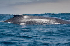 Humpback whale sailing in Puerto Lopez, Ecuador Royalty Free Stock Photo