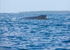 A humpback whale in the sea in Tonga stock images